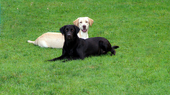 Labradorzucht vom Wolfgangsee