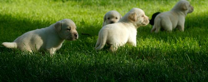 Labradorzucht Vom Wolfgangsee Labrador Zuchter Osterreich